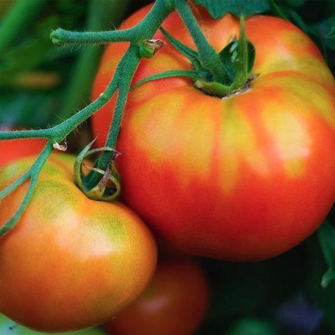 tomate-moruno-calizo
