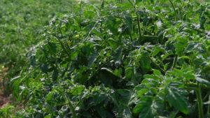 Las plantas para evitar una excesiva evaporación de agua, cuando las temperaturas son altas, cierran sus estomas para no deshidratarse