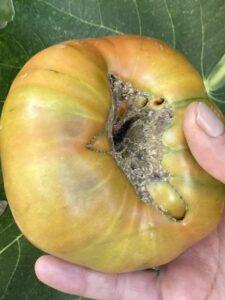 """""""Estas imperfecciones se deben a la propia genética del tomate o a estrés de cuajado de la flor, pero solo influirá en el aprovechamiento del tomate"""""""